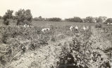 F.F.A. boys in blackberry field circa 1935